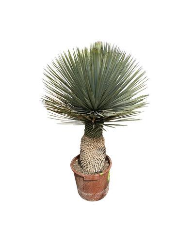 """Yucca rostrata """"Hybride"""" (YRH-5)"""