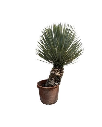 """Yucca rostrata """"Hybride"""" (YRH-6)"""