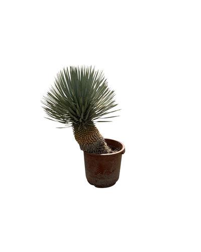 """Yucca rostrata """"Hybride"""" (YRH-7)"""