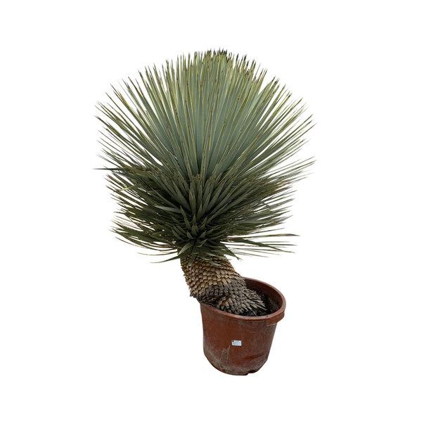 """Yucca rostrata """"Hybride"""" (YRH-8)"""