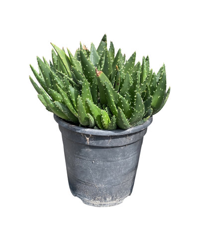 Aloe perfoliata (pot C-19)