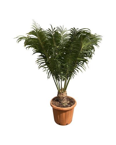 Cycas circinalis (pot C-30)