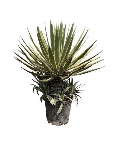 Agave angustifolia variegata (pot C-35)