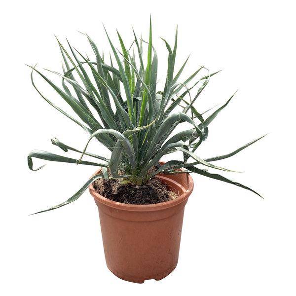 Yucca filamentosa (pot CT-24)