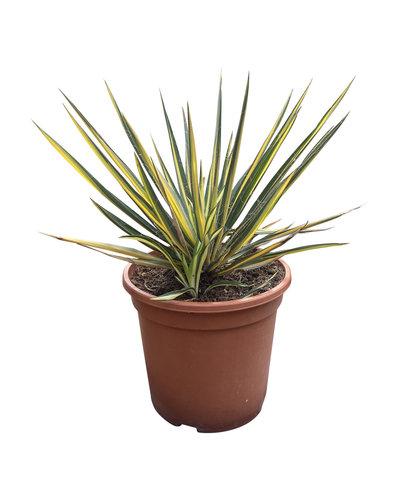 Yucca filamentosa variegata (pot CT-24)