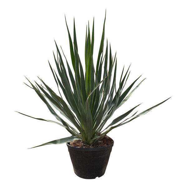 Yucca gloriosa (pot C-19)