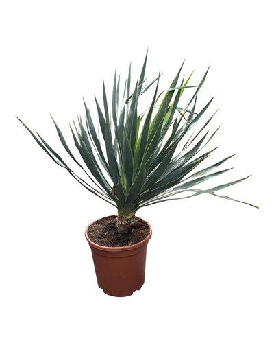 Yucca gloriosa (pot CT-24)