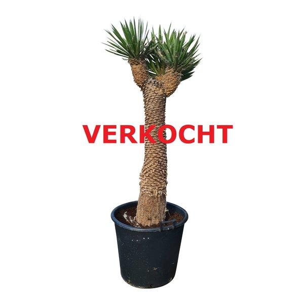 "Yucca filifera ""Multihead""  (YFM-5)"