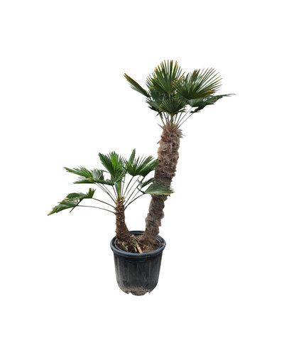 Trachycarpus wagnerianus multitrunc (TWM-3)