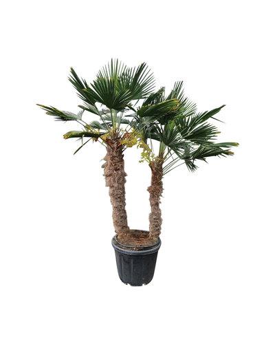 Trachycarpus wagnerianus multitrunc (TWM-4)