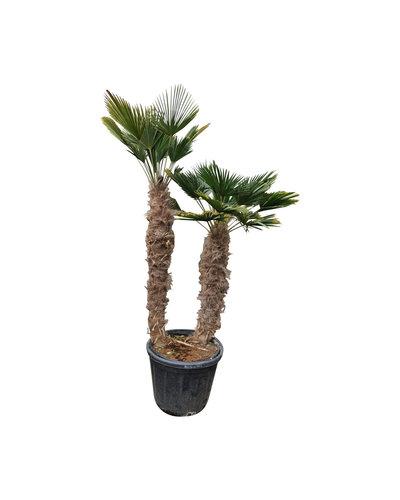 Trachycarpus wagnerianus multitrunc (TWM-6)