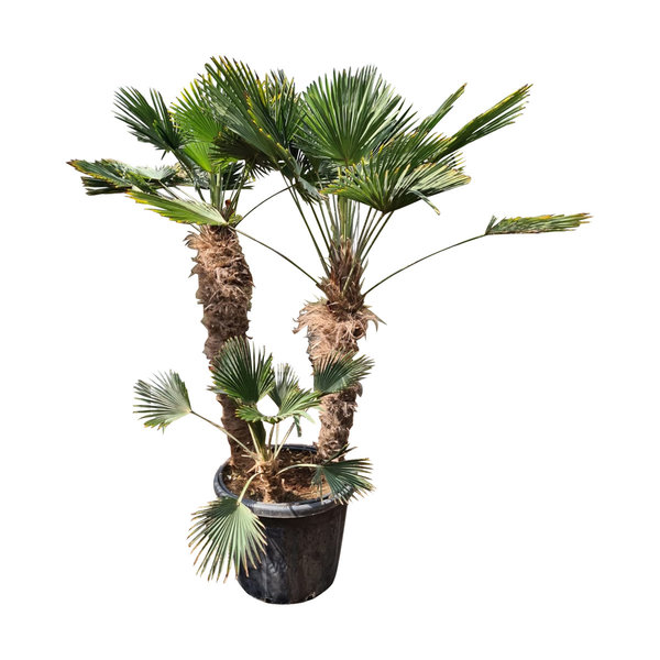 Trachycarpus wagnerianus multitrunc (TWM-9)