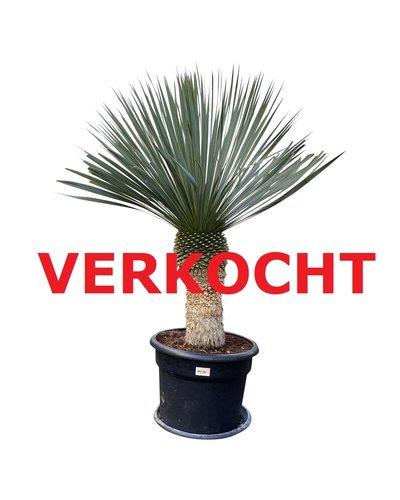 """Yucca rostrata """"Blue swan"""" (YBS-1)"""
