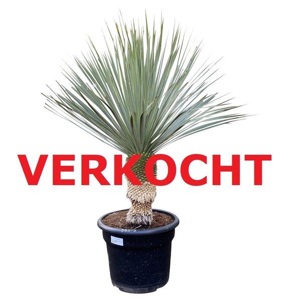 """Yucca rostrata """"Blue swan"""" (YBS-5)"""
