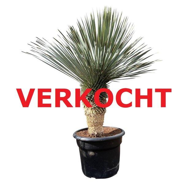 """Yucca rostrata """"Blue swan"""" (YBS-6)"""