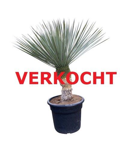 """Yucca rostrata """"Blue swan"""" (YBS-7)"""