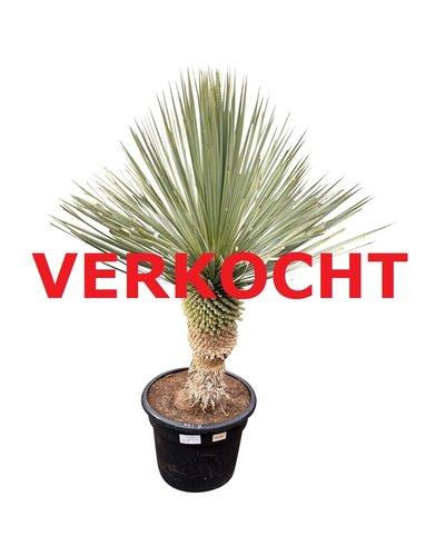 """Yucca rostrata """"Blue swan"""" (YBS-11)"""
