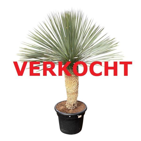 """Yucca rostrata """"Blue swan"""" (YBS-12)"""