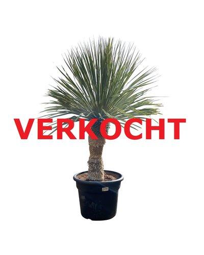 """Yucca rostrata """"Blue swan"""" (YBS-15)"""