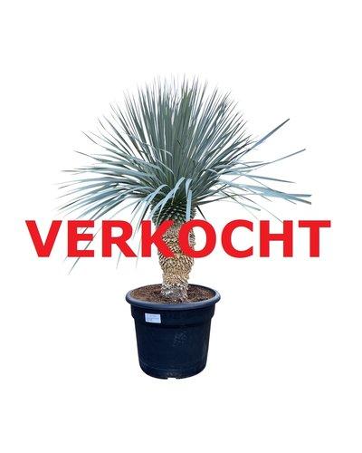 """Yucca rostrata """"Blue swan"""" (YBS-16)"""