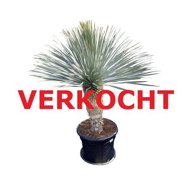 """Yucca rostrata """"Blue swan"""" (YBS-3)"""