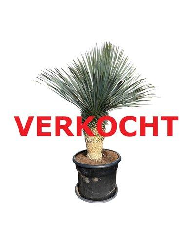 """Yucca rostrata """"Blue swan"""" (YBS-2)"""