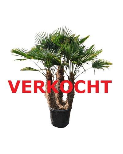 Trachycarpus wagnerianus multitrunc (TWM-7)