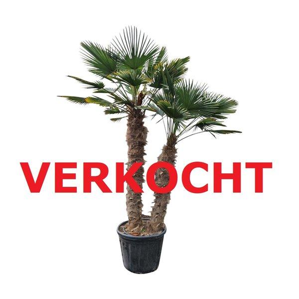Trachycarpus wagnerianus multitrunc (TWM-5)