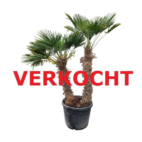 Trachycarpus wagnerianus multitrunc (TWM-2)