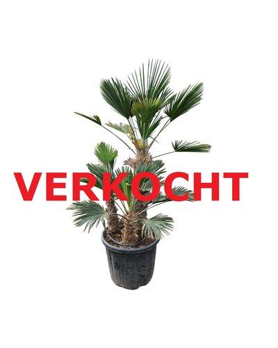 Trachycarpus wagnerianus multitrunc (TWM-1)