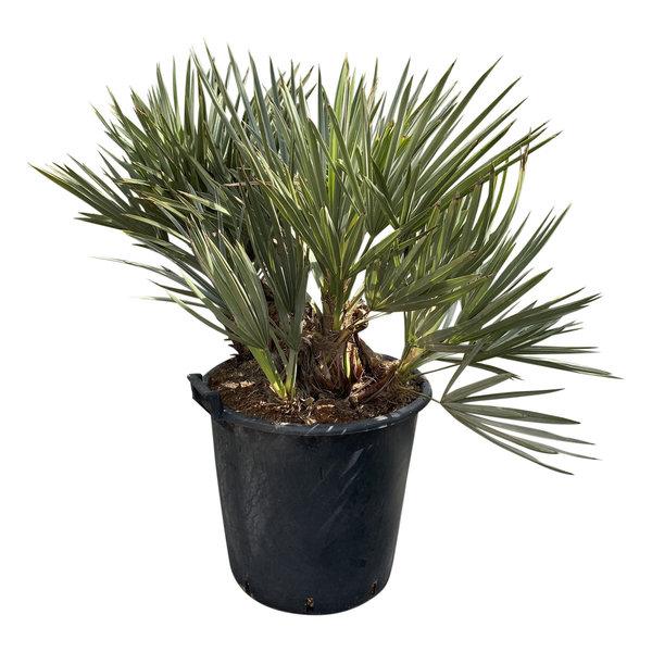 Trithinax campestris (pot C-45)