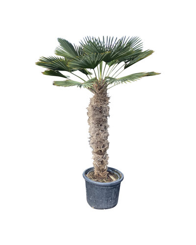 Trachycarpus wagnerianus (stamhoogte 110-120 cm)