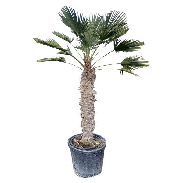 Trachycarpus wagnerianus (stamhoogte 120-130 cm)