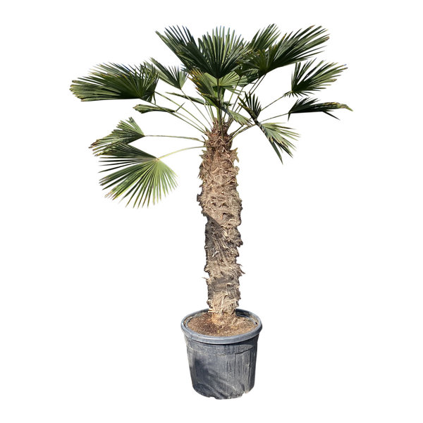 Trachycarpus wagnerianus (stamhoogte 130-140 cm)