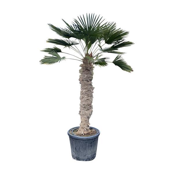 Trachycarpus wagnerianus (stamhoogte 140-150 cm)