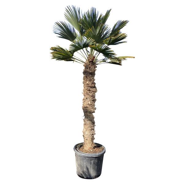 Trachycarpus wagnerianus (stamhoogte 160-170 cm)