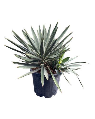 Yucca gloriosa (pot C-35)