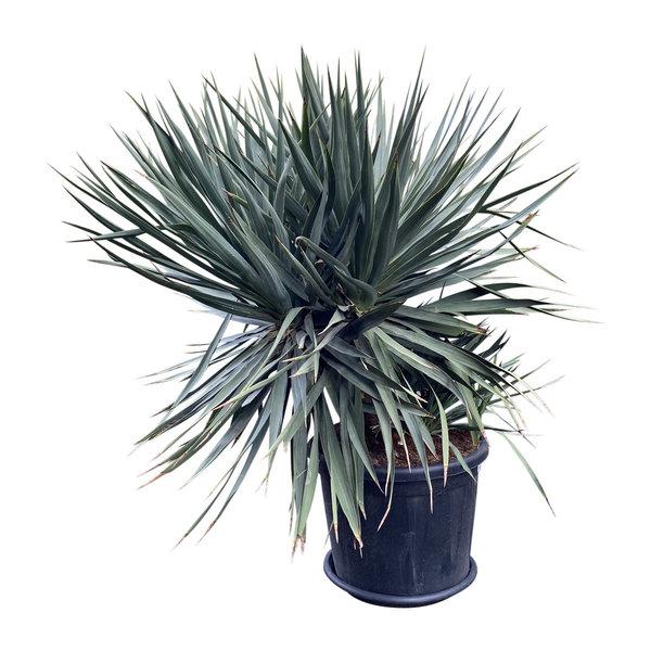 Yucca gloriosa (pot C-50)