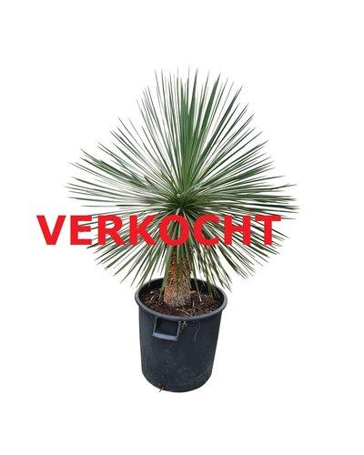 Yucca linearifolia (YLS-25)
