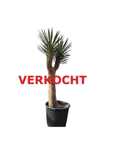"Yucca filifera ""Multihead""  (YFM-8)"