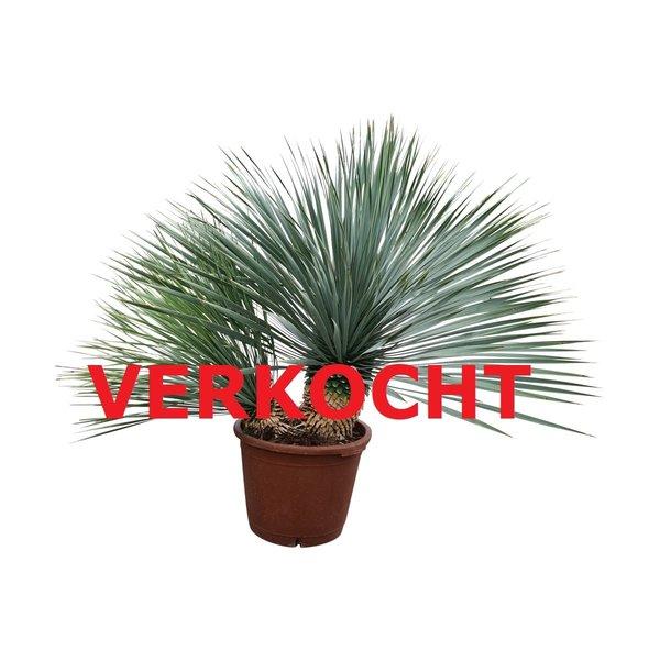 "Yucca rostrata ""Multitrunc"" (YRD-6)"