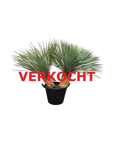 "Yucca rostrata ""Multitrunc"" (YRD-8)"