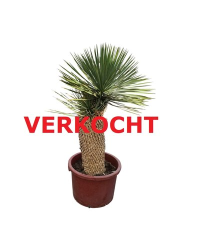 "Yucca thompsoniana ""Hybride"" (YHY-6)"
