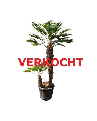 Trachycarpus wagnerianus multitrunc (TWM-8)