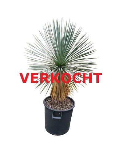 Yucca linearifolia (YLS-7)