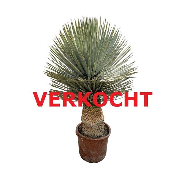 Yucca rostrata hybride (YRH-4)