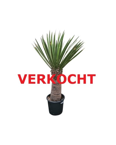 Yucca faxoniana (YFA-7)