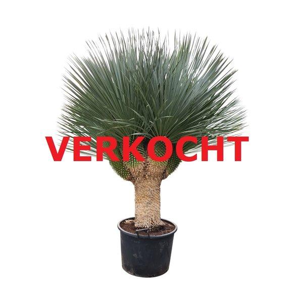"Yucca rostrata ""Multihead"" XXL (YRS-4)"
