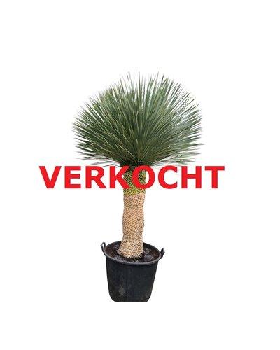 "Yucca rostrata ""Multihead"" XXL (YRS-2)"