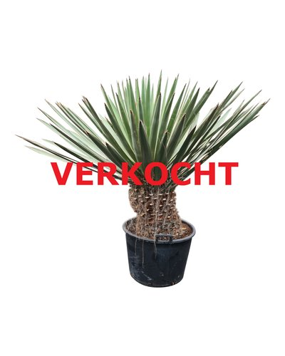 Yucca faxoniana (YFA-3)